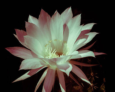 Photograph - Cactus Flower by Ian Thompson