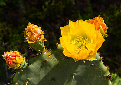 Photograph - Cactus Flower by John Johnson