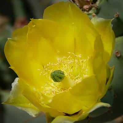 Photograph - Cactus Flower by Laurel Powell
