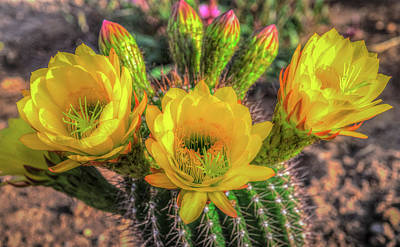 Photograph - Cactus Flower by Mark Dunton