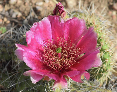 Photograph - Cactus Flower by Phyllis Britton