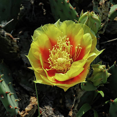Photograph - Cactus Flower by Scott Kingery