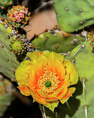 Mark Myhaver Rights Managed Images - Cactus Flower v46 Royalty-Free Image by Mark Myhaver