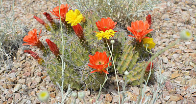 Photograph - Cactus Flowers by Aimee L Maher Photography and Art Visit ALMGallerydotcom