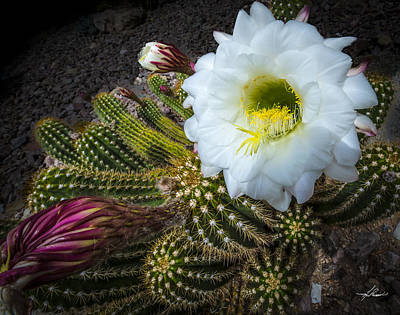 Photograph - Cactus Flowers by Phil Rispin