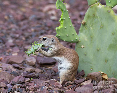 Round-tailed Ground Squirrel Photograph - Cactus For Dinner by Ruth Jolly