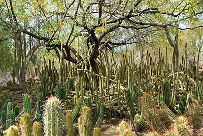 Photograph - Cactus Forest by Aimee L Maher Photography and Art Visit ALMGallerydotcom