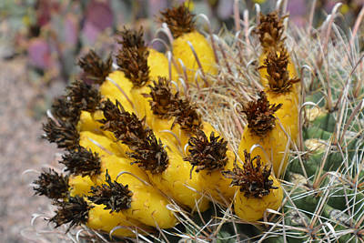 Photograph - Cactus Fruit by Aimee L Maher ALM GALLERY
