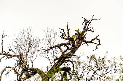 Photograph - Cactus In The Tree - Flood 2010 - Bentsen Rio State Park by Debra Martz