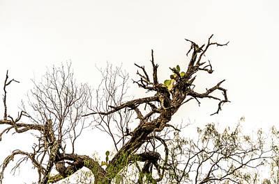 Photograph - Cactus In The Tree - Flood 2010 - Bentsen Rio State Park by Debra Martz