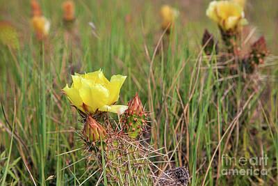 Photograph - Cactus Rose by Jim Garrison