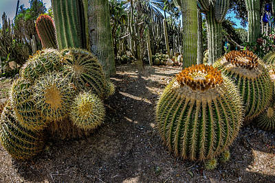Photograph - Cactus Shapes by Mark Perelmuter