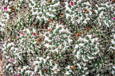 Photograph - Cactus Snow On A Cactus by David Levin