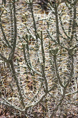 Cactus Thorns Print by Carol Groenen