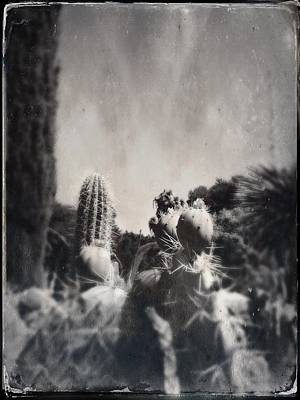 Photograph - Cactus Tintype by Anne Thurston
