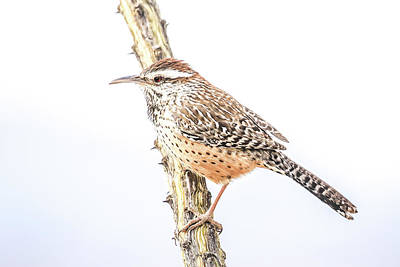Photograph - Cactus Wren # 1 by Tom and Pat Cory