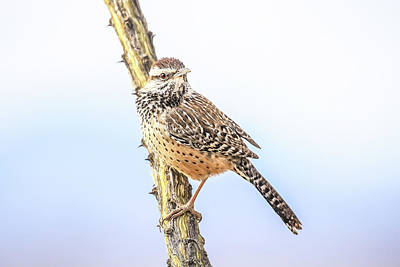 Photograph - Cactus Wren # 2 by Tom and Pat Cory