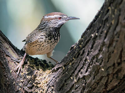 Photograph - Cactus Wren 0186-050918-1cr by Tam Ryan