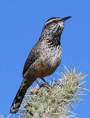 Photograph - Cactus Wren - 3 by Christy Pooschke