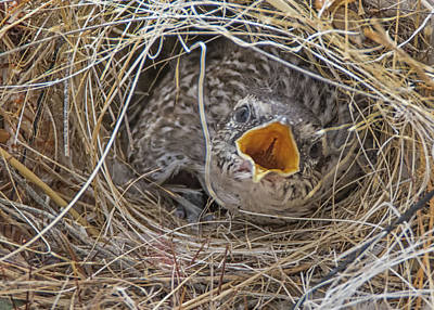 Photograph - Cactus Wren Chick 4606-040418-1cr by Tam Ryan