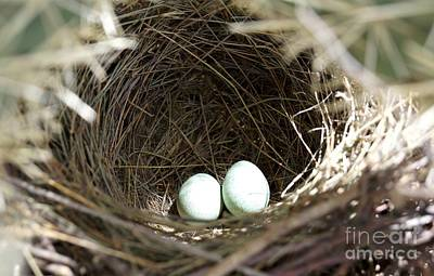 Photograph - Cactus Wren Eggs by Kerri Mortenson