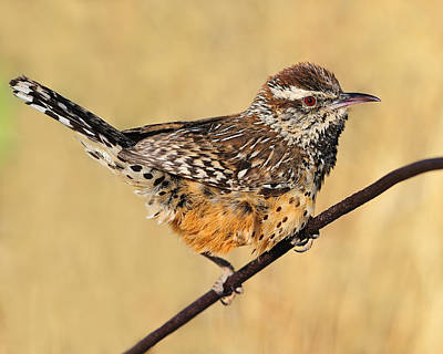 Photograph - Cactus Wren by Tony Beck
