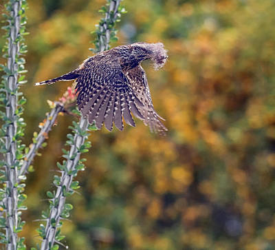 Photograph - Cactus Wren With Nesting Material 4543-040418-1cr by Tam Ryan