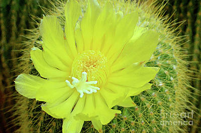 Photograph - Cactus Yellow by Debby Pueschel