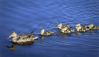 Baby Mallards Photograph - Cadence by Donna Kennedy