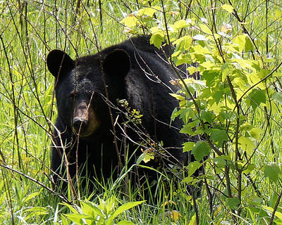 Photograph - Cades Cove Black Bear by TnBackroadsPhotos