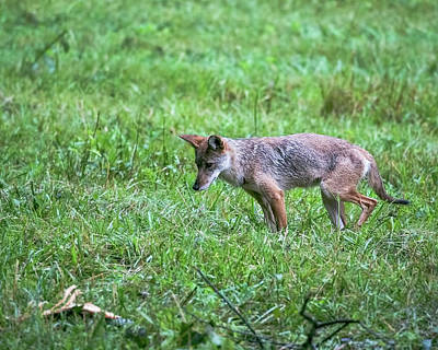 Photograph - Cades Cove Coyote Hunting by Jemmy Archer