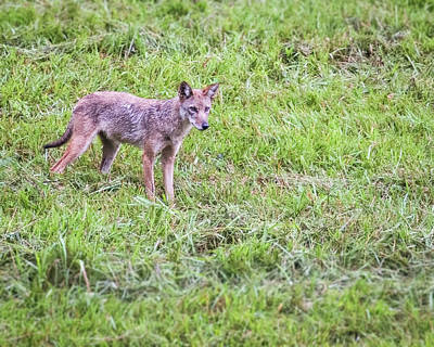 Photograph - Cades Cove Coyote by Jemmy Archer