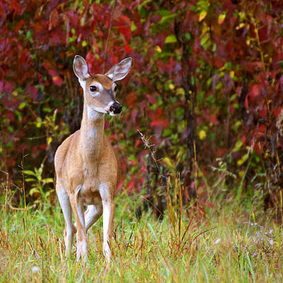 Art Print featuring the photograph Cades Cove Doe by Bob Decker