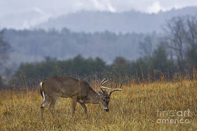 Photograph - Cades Cove White-tail - D007884 by Daniel Dempster