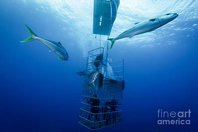 Cage Dive Photograph - Cage Dive by Ryan Ware