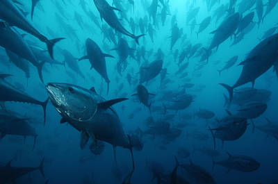 Industry And Production Photograph - Caged Bluefin Tuna Are Being Fattened by Brian J. Skerry