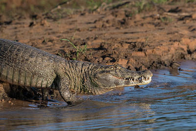 Photograph - Caiman by Wade Aiken