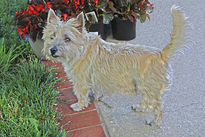 Cairn Terrier On The Patio Art Print