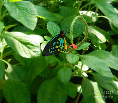 Photograph - Cairns Birdwing Butterfly by Emmy Vickers