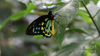 Photograph - Cairns Birdwing Butterfly by Sandra Huston