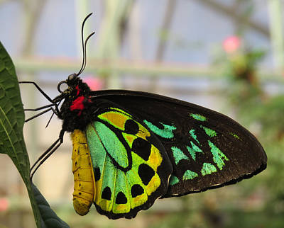 Photograph - Cairns Birdwing Portrait - Butterfly by MTBobbins Photography