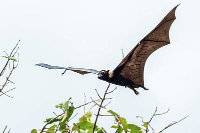Photograph - Cairns Fruit Bat by Walt Sterneman