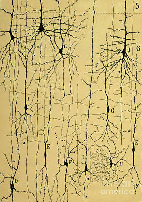 Nerve Cell Photograph - Cajal Drawing Of Microscopic Structure Of The Brain 1904 by Science Source