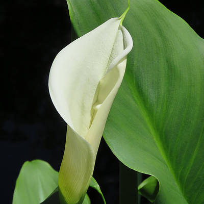 Photograph - Cala Lily  by Pat Exum