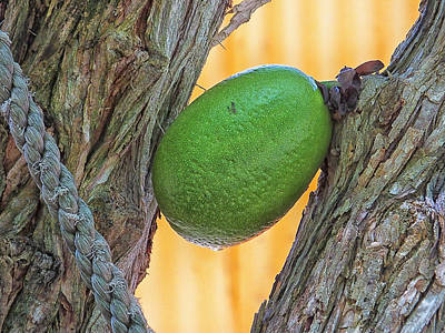Photograph - Calabash Fruit by Bill Barber