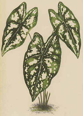 Nature Study Drawing - Caladium Argyrites by English School