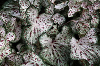 Caladium Leaves Art Print