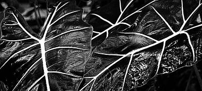 Photograph - Caladium Patterns In Black And White by Nadalyn Larsen