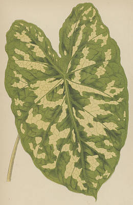 Caladiums Painting - Caladium Pictum by English School