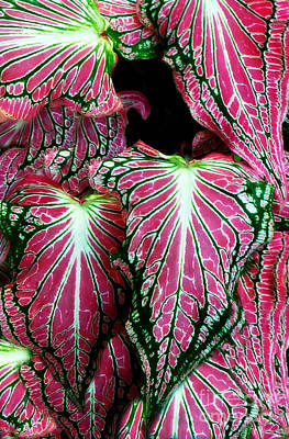 Digital Art - Caladium - Pot Hos Leaves by Ian Gledhill